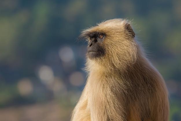 Fine della scimmia del langur in su, l'india. profondità di campo