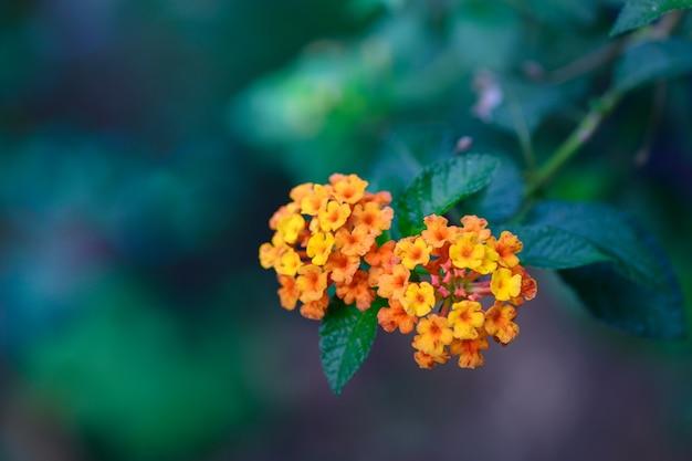 Fiore di lantana camara in giardino