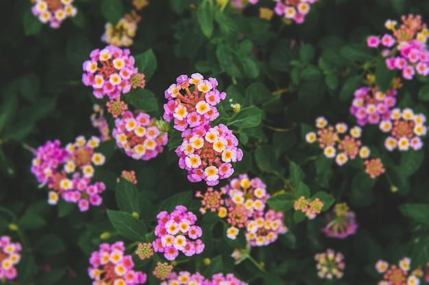 Cespuglio di fiori di lantana camara con scarsa illuminazione esterna