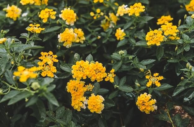 Cespuglio di fiori di lantana camara
