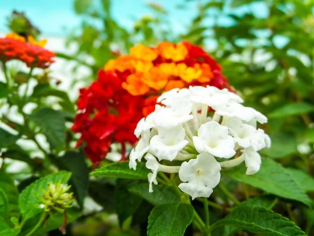 Lantana puro bianco e rosso giallo arancione tono colorato fiore di bellezza