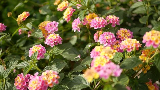 Lantara camara giallo fiore rosa in giardino california usa. umbelanterna primavera pura fioritura colorata, romantica atmosfera botanica delicato fiore tenero. colori chiari primaverili. mattinata fresca e tranquilla