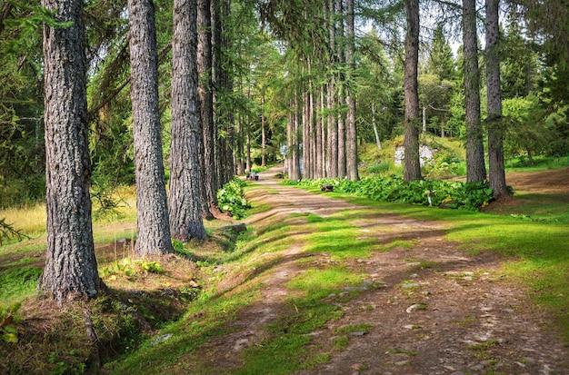 Vicolo dei larici nel giardino botanico delle isole solovetsky tra il verde delle piante