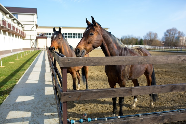 Un grande e bellissimo cavallo marrone adulto si trova in una penna con un granaio bianco