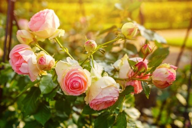 Grandi rose bicolore pesca chiare come peonie con doppia balza su fondo di foglie