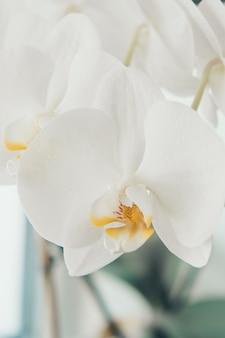 Un grande mazzo di fiori orchidee bianche primo piano