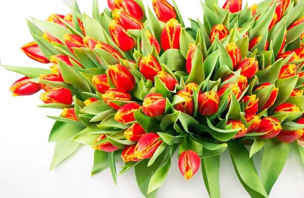 Grande mazzo di tulipani rossi su sfondo bianco