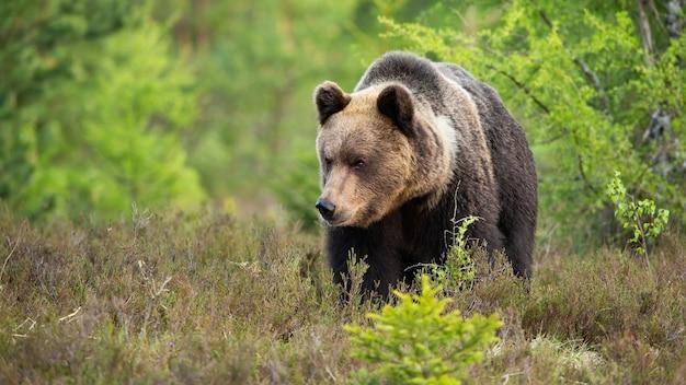 Grande orso bruno che si avvicina su una brughiera dalla vista frontale con copia spazio