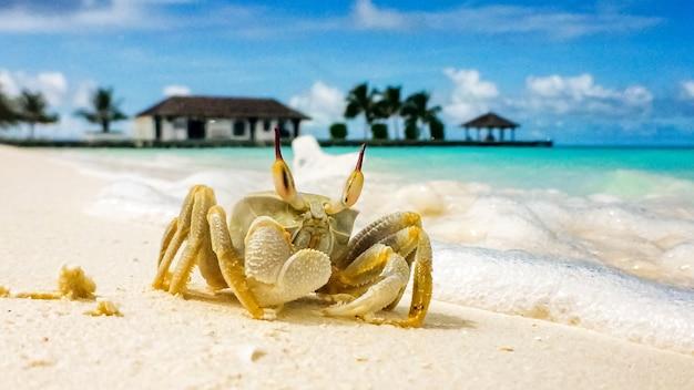 Un grosso granchio è strisciato su una spiaggia di sabbia bianca in una giornata di sole alle maldive.