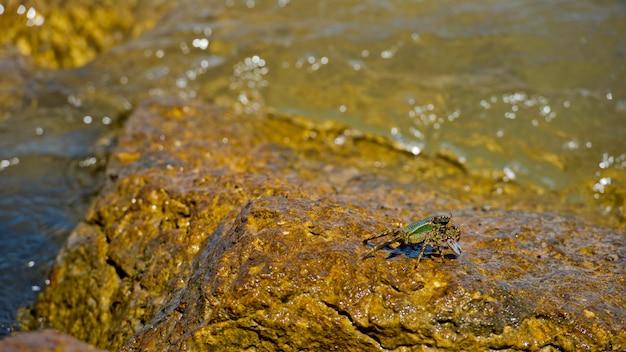 Grande granchio seduto su una roccia