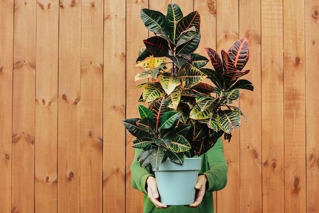 Una grande pianta di croton nelle mani di un uomo. concetto di bellissime piante d'appartamento come regalo.