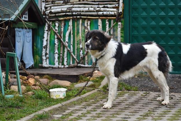 Grande cane sulla casa delle protezioni a catena. il pastore dell'iarda vive nella cabina.