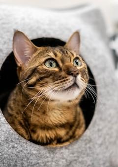 Un grande gatto domestico della savana o razza del bengala in una cuccia.