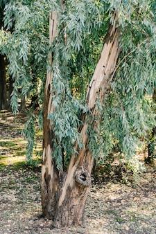 Grande albero di eucalipto con lussureggianti rami nella foresta.