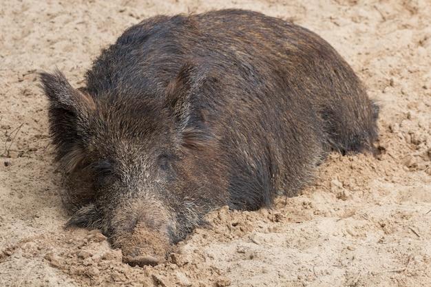 Il grande cinghiale femmina dorme comodamente nel fango