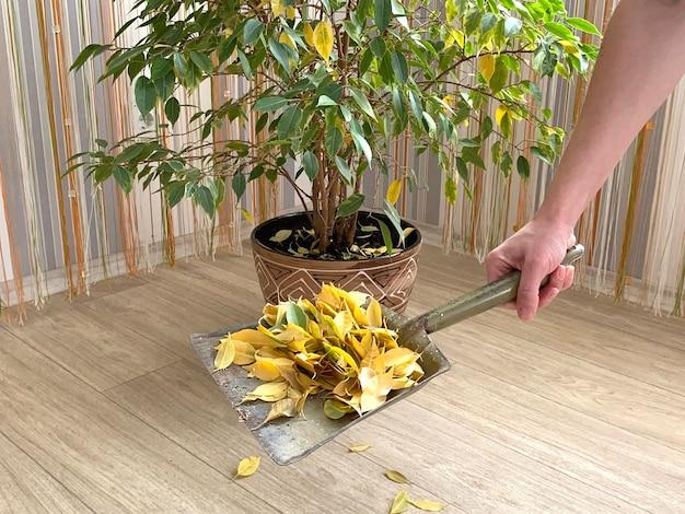 Un grande ficus di benjamin scarsa cura dei fiori interni una pianta domestica con foglie cadute ingiallite