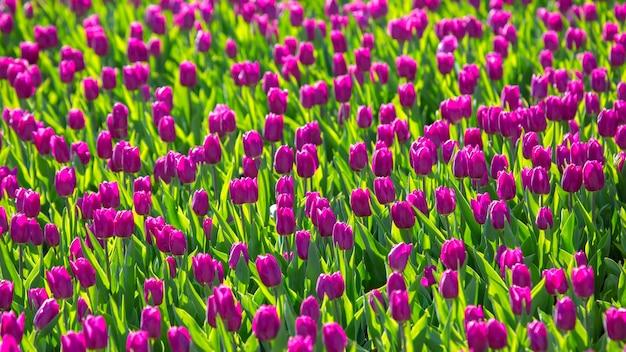 Grande campo di tulipani viola in fiore