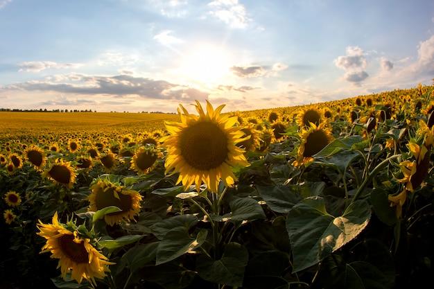 Ampio campo di girasoli in fiore sullo sfondo di un cielo nuvoloso soleggiato. agronomia, agricoltura