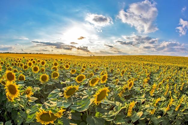 Ampio campo di girasoli in fiore sullo sfondo di un soleggiato cielo nuvoloso.