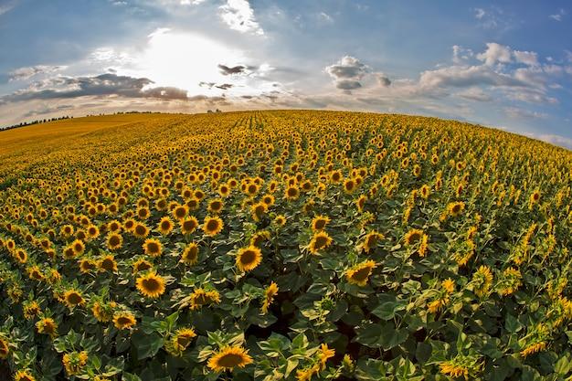 Ampio campo di girasoli in fiore sullo sfondo di un soleggiato cielo nuvoloso