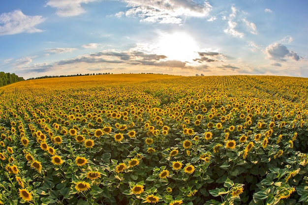 Ampio campo di girasoli in fiore contro un soleggiato cielo nuvoloso.