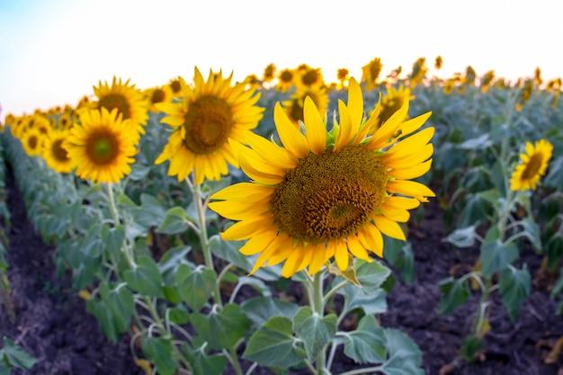 Ampio campo di girasoli in fiore. agronomia, agricoltura