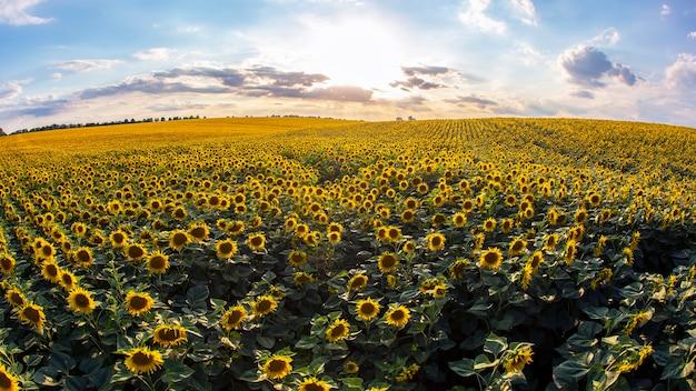 Ampio campo di girasoli in fiore alla luce del sole. agronomia, agricoltura e botanica.