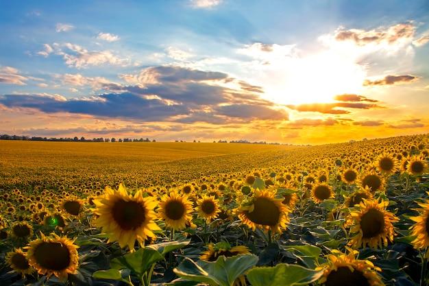 Ampio campo di girasoli in fiore alla luce del sole. agronomia, agricoltura e botanica