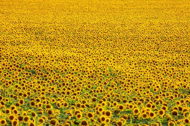 Ampio campo di girasoli in fiore alla luce del sole agronomia, agricoltura e botanica