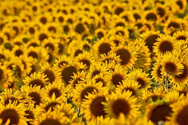 Ampio campo di girasoli in fiore alla luce del sole