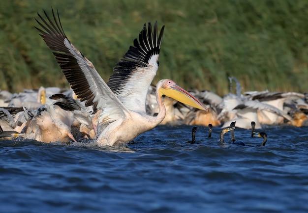 Un grande stormo di pellicani bianchi e cormorani pescano insieme nell'acqua blu