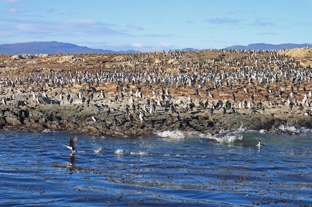 Grande gruppo di cormorani sull'isola rocciosa del canale di beagle ushuaia argentina