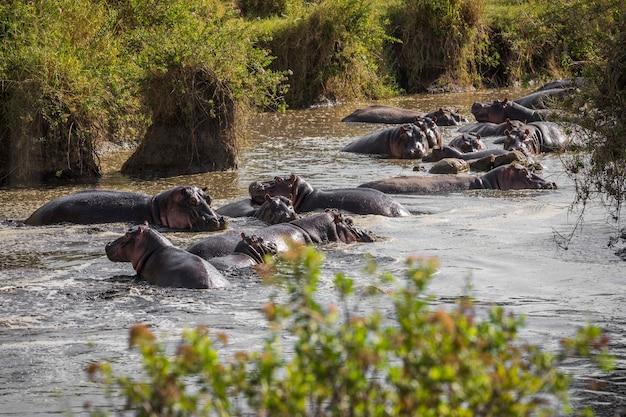 Un folto gruppo di ippopotami giace nell'acqua.tanzania serengeti