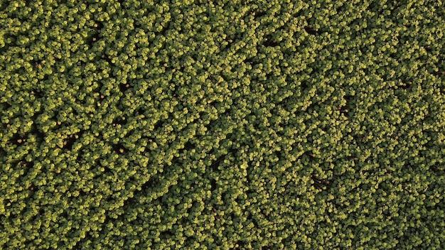 Grandi teste di girasoli in maturazione, vista dall'alto di una piantagione di semi per l'olio.