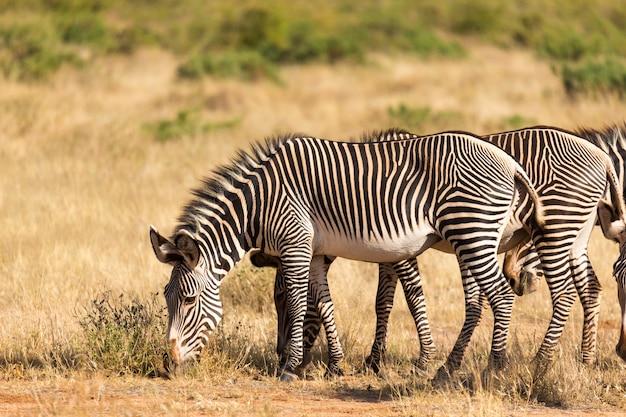 Una grande mandria di zebre al pascolo nella savana