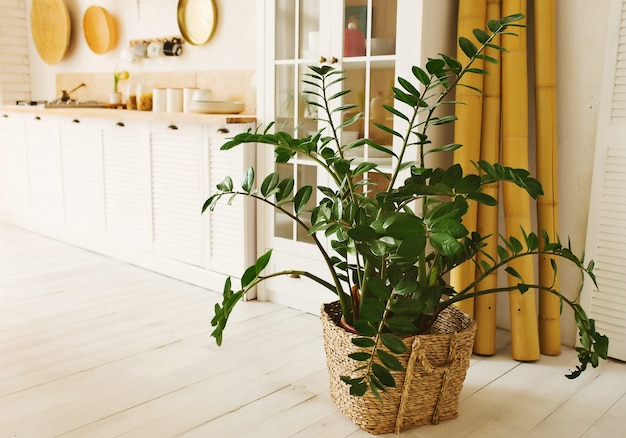 Grande fiore dell'interno in un vaso di paglia all'interno di un paesaggio leggero di zamioculcas della cucina