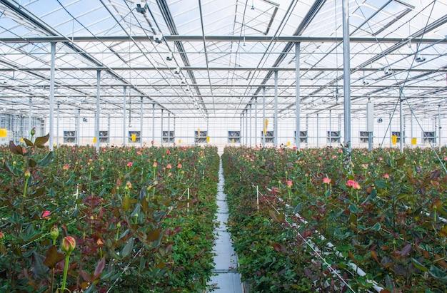 Grande serra industriale con rose olandesi, il piano generale
