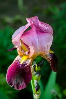 Iris grande in giardino, in estate.