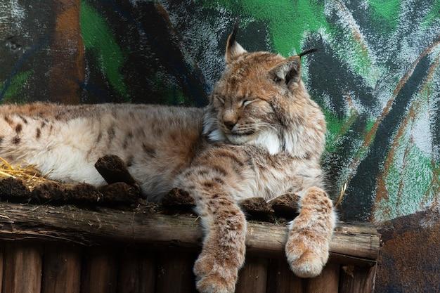 Una grande lince giace su una mensola di legno. la lince eurasiatica è un grande mammifero della famiglia dei gatti animali nello zoo