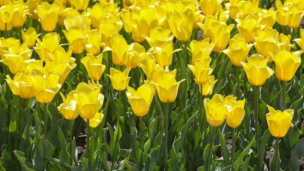 Grande prato di tulipani gialli in fiore freschi da vicino