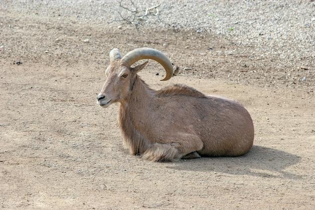 Una grande capra di montagna giace a terra e guarda la telecamera. corna lunghe e spesse. lana marrone.