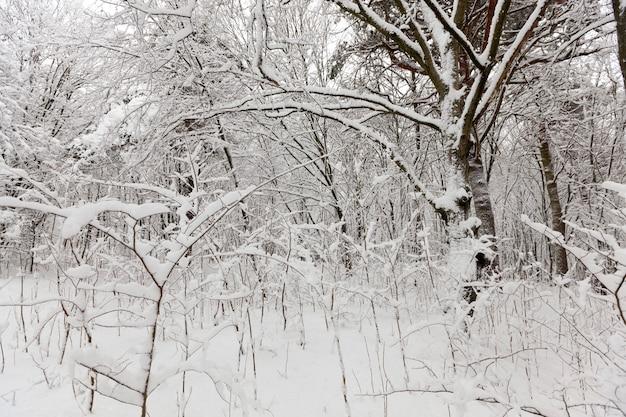 Un gran numero di alberi decidui nudi nella stagione invernale, gli alberi sono coperti di neve dopo gelate e nevicate, cumuli di neve nel parco o nella foresta invernale, ci saranno impronte nella neve