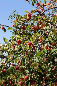 Un gran numero di piccole mele rosse selvatiche non gustose tra il fogliame verde, contrasta con la natura alla fine dell'estate