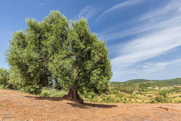 Un grande vecchio olivo con un grosso tronco ricurvo e ampi rami sulla sommità di una collina