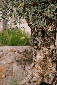 Grandi frutti di ulivo sui rami dell'albero contro la corteccia dell'albero
