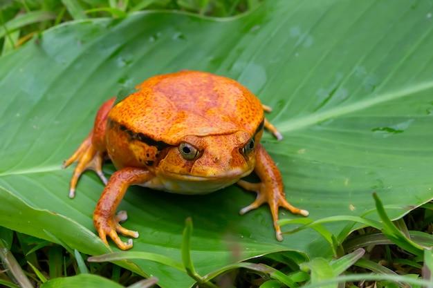 Grande rana arancione su una foglia