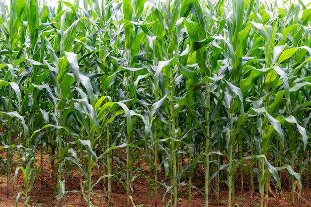 Grande fattoria di piantagioni di mais biologico.