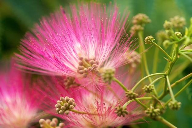 Grandi fiori rosa del primo piano dell'acacia