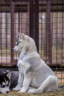 Cucciolo di husky siberiano di grande piano, situato in una gabbia. diversi cuccioli giacciono in una gabbia.