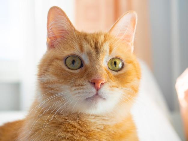 Un grande ritratto di un simpatico gatto rosso che guarda la telecamera sorpreso. animali domestici